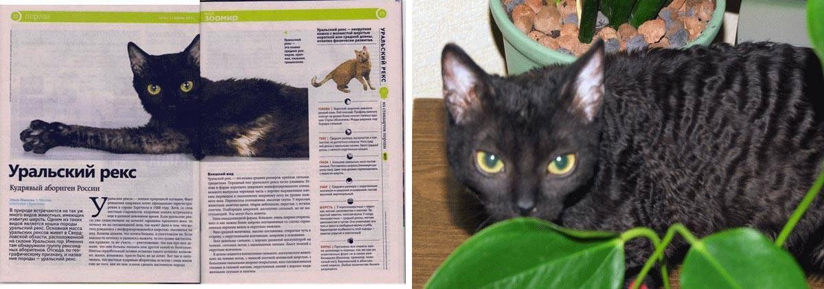 Кошка ликой: фото, описание, характер, уход, стоимость котят