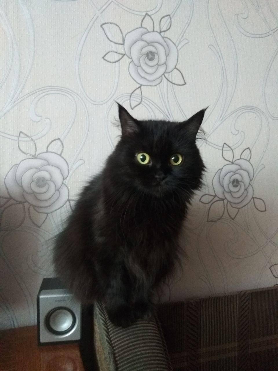 Метис мейн-куна: помесь с обычной, сибирской кошкой и британцем