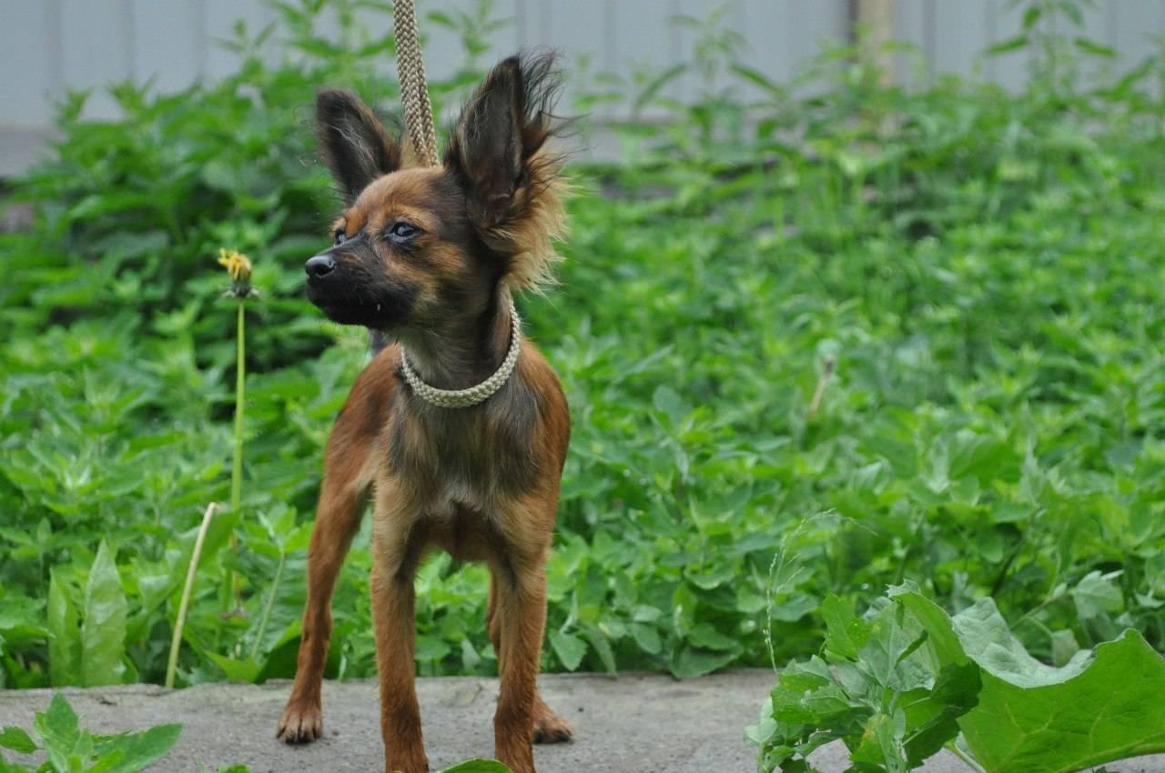Русский гладкошерстный той-терьер: фото как выглядит собака, описание породы, а также особенности московского и рыжего питомца