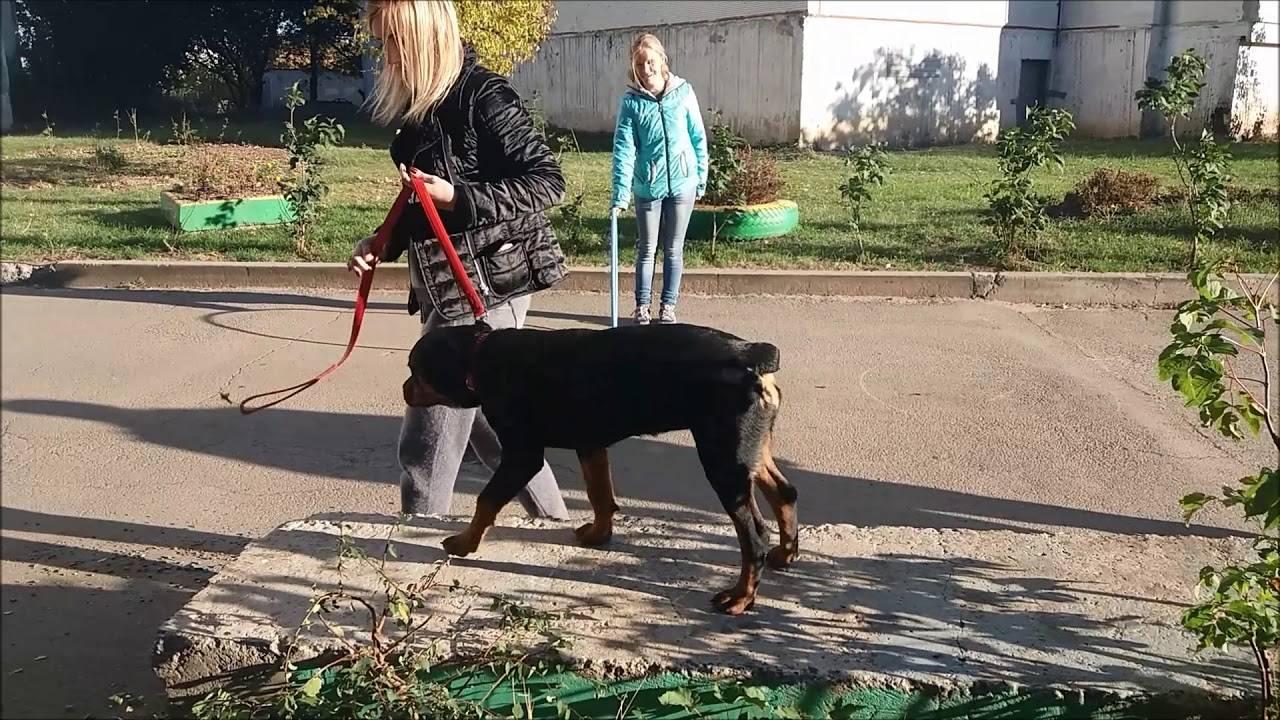 Дрессировка и воспитание ротвейлера в домашних условиях   собаки мира