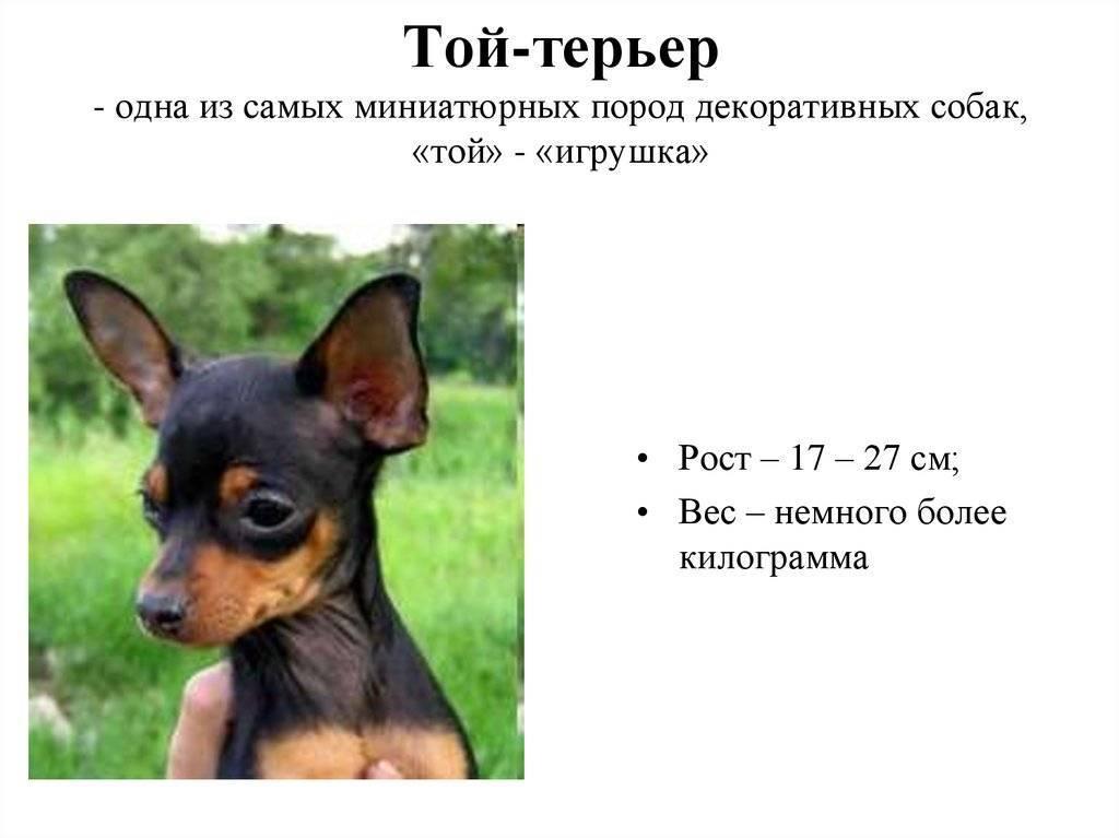 Русский черный терьер: все о собаке, фото, описание породы, характер, цена