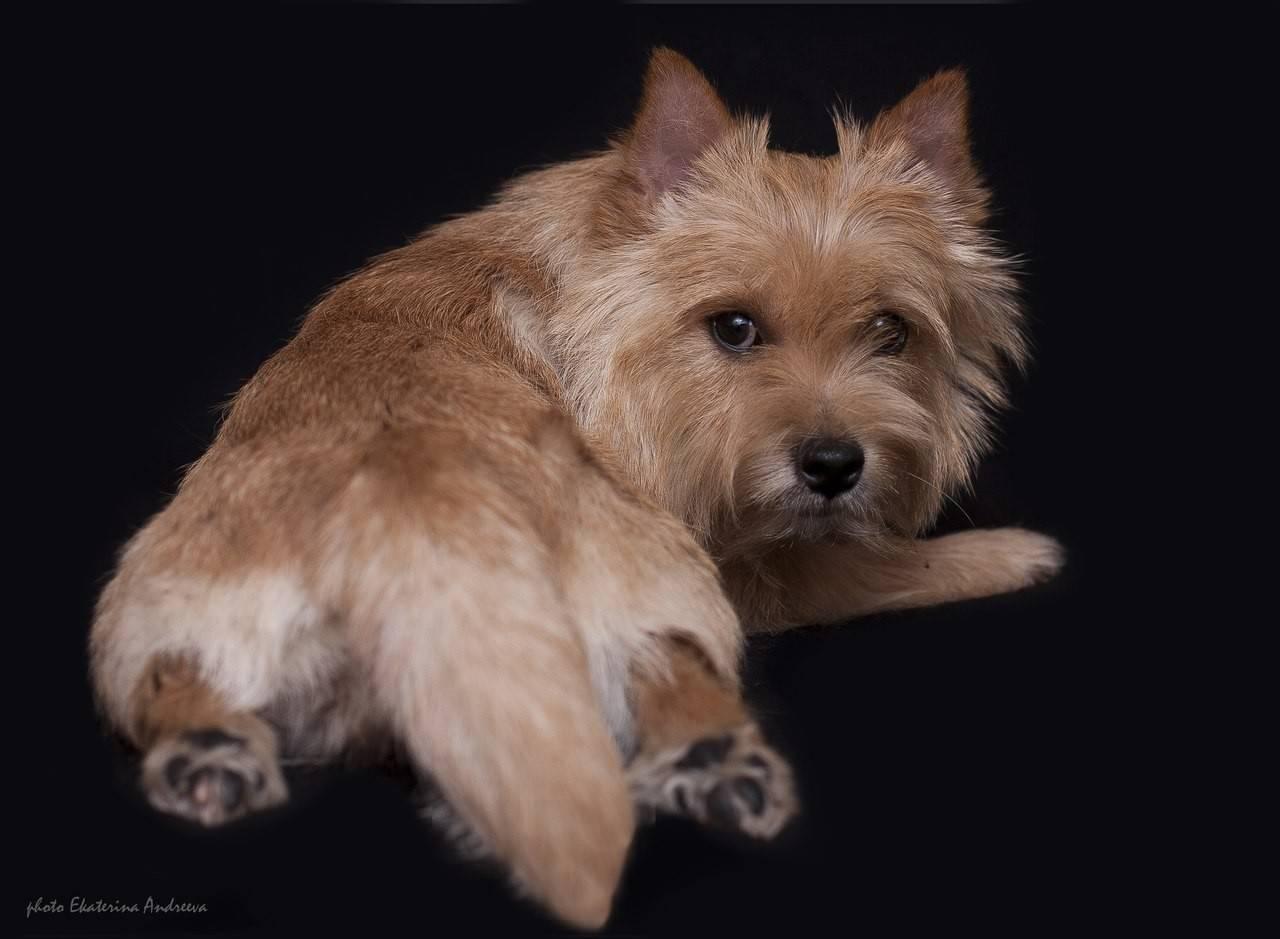 Норвич терьер — маленькое счастье! так говорят о породе собак с замечательным характером, история возникновения и все особенности в обзоре +125 фото