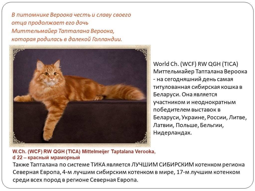 Сибирская кошка серого окраса (17 фото): особенности окраса, характеристика породы и особенности ухода