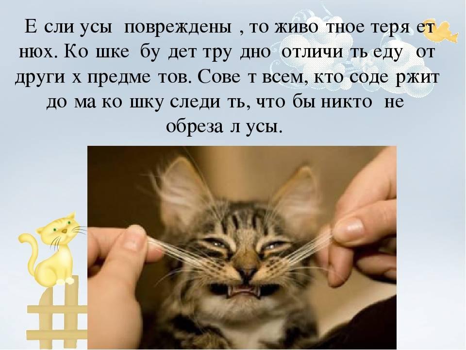 Усы у кошек, зачем они нужны: особенности, функции и применение