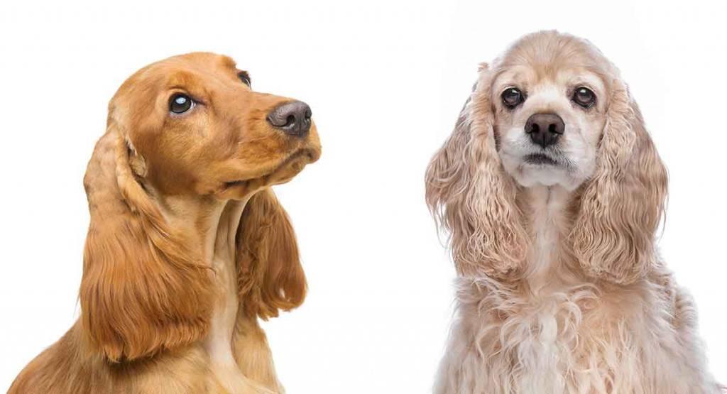 Американский кокер-спаниель (67 фото): все о породе собак, описание щенков, содержание в квартире и уход, отзывы владельцев