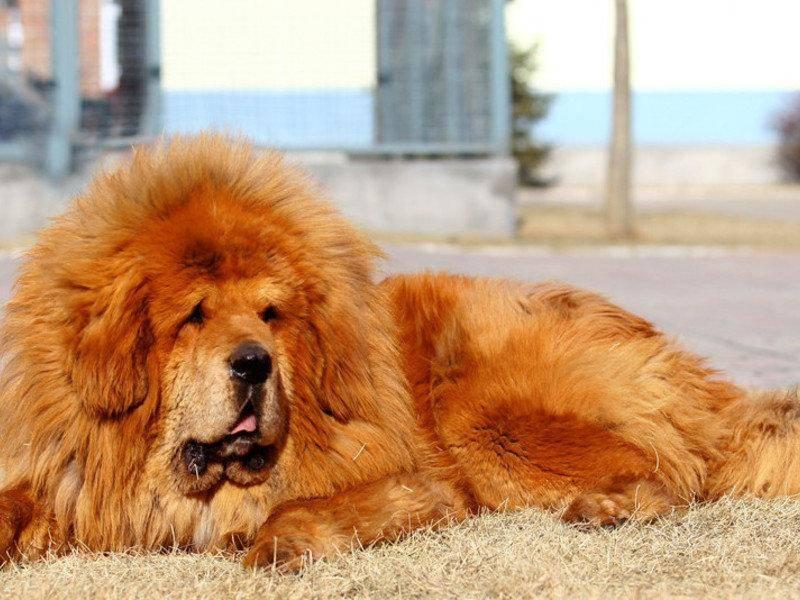 Рейтинг самых красивых собак
