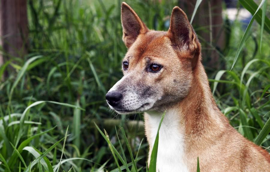Новогвинейская поющая собака: описание породы, характер, фото