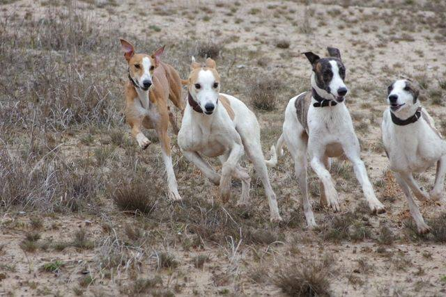 Борзые собаки: описание, виды и правила содержания