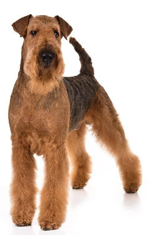 Эрдельтерьер собака. описание, особенности, уход и цена эрдельтерьера