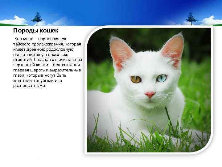 Као-мани – белоснежная кошка с «алмазными» глазами