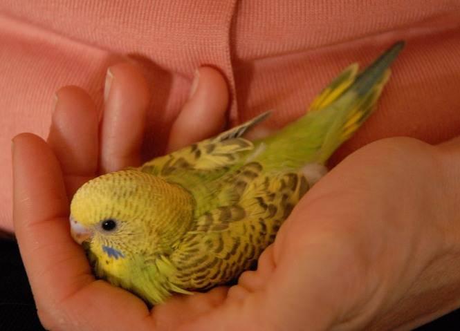 Как дрессировать волнистого попугая: 12 шагов