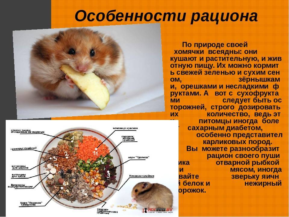 Чем кормить хомяка в домашних условиях