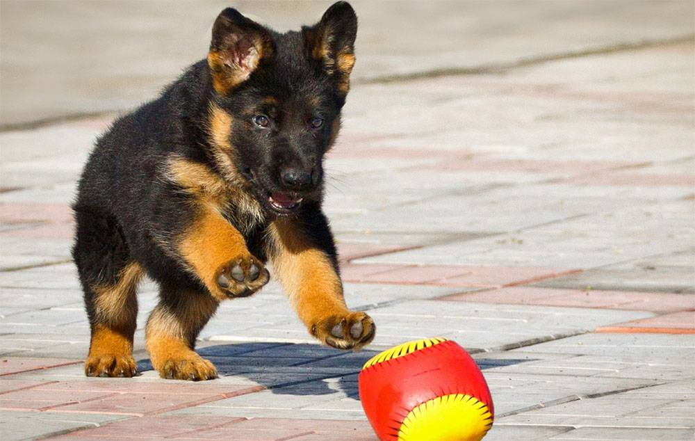 Дрессировка немецкой овчарки: воспитание щенка по месяцам в домашних условиях, а также как правильно научить собаку командам