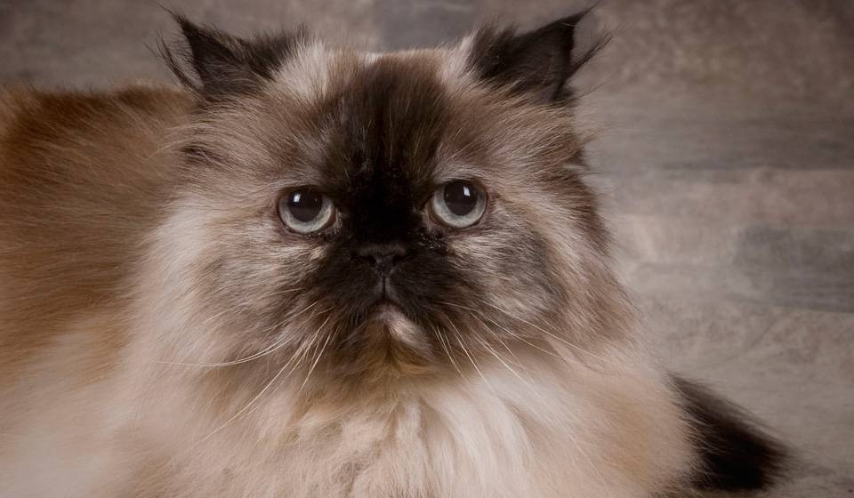 Гималайская кошка |