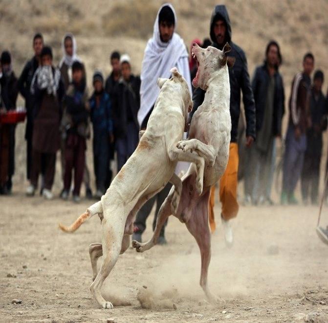 Характеристика породы собак гуль донг, правила содержания животного