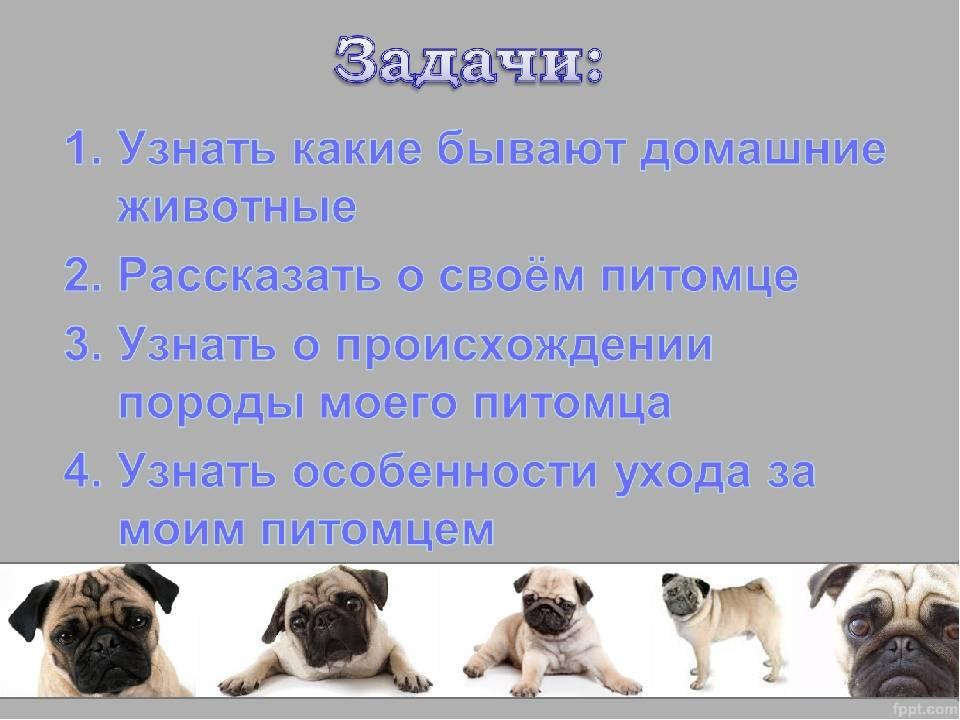 Сколько живут мопсы в домашних условиях и от чего зависит продолжительность их жизни + соотношение возраста собаки и человека
