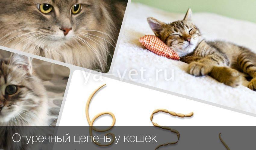 Огуречный цепень у кошек - симптомы наличия паразита и причины