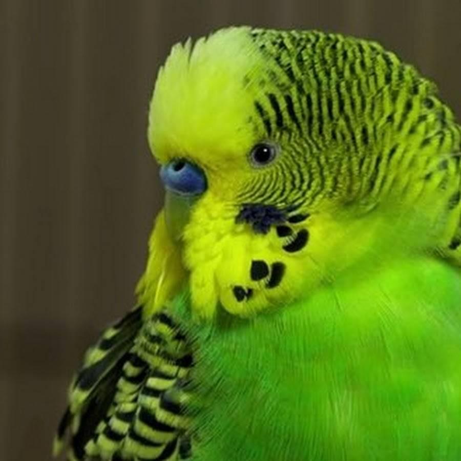 Как научить волнистого попугая говорить | обучение разговору волнистого попугайчика