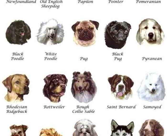 """Породы собак, которые не линяют: большой обзор   блог ветклиники """"беланта"""""""