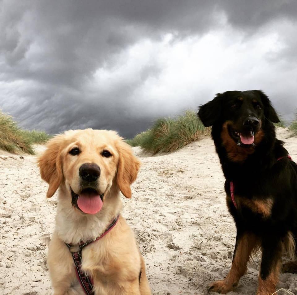 Порода собак ховаварт: особенности вида, правила содержания и прочие аспекты + фото и видео