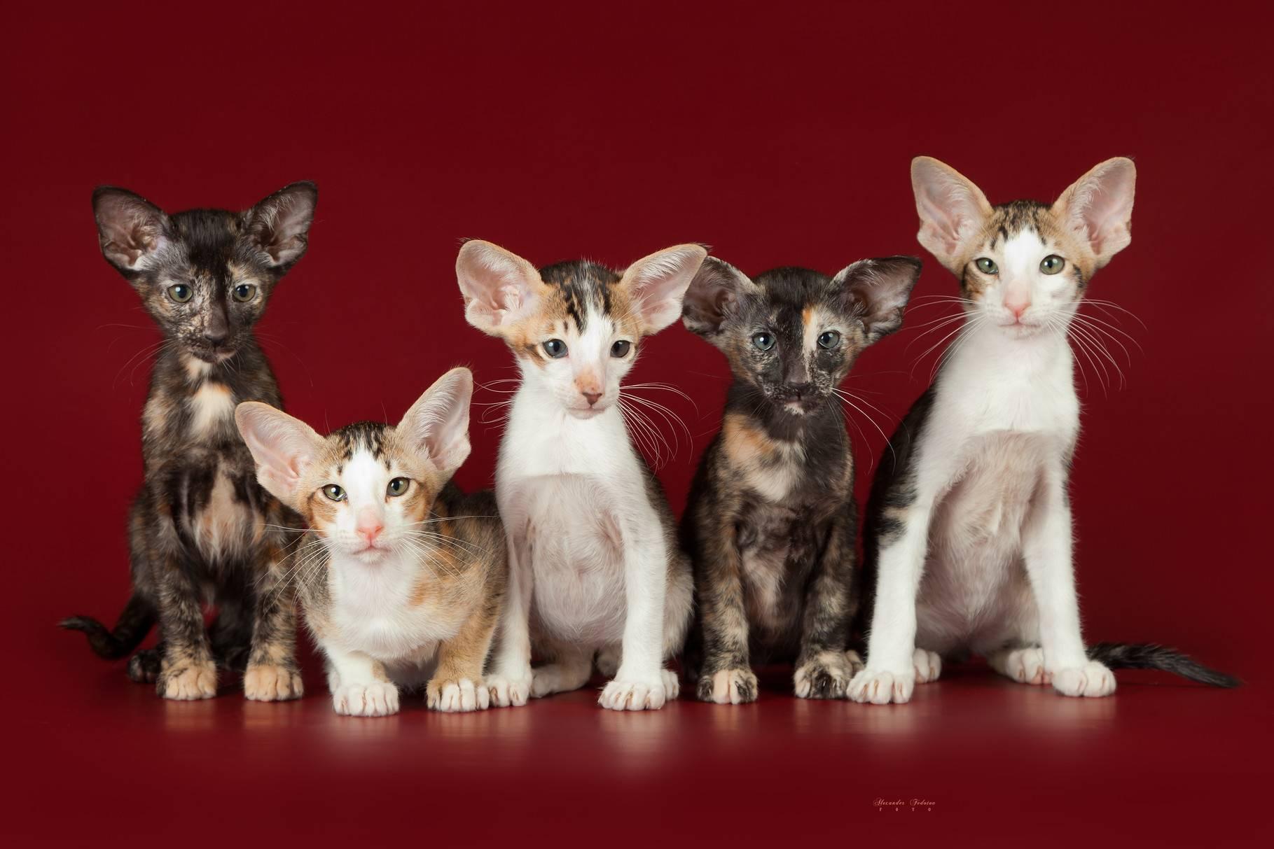 Мышиный котик: характеристика внешности кота и поведение пород кошек с большими ушами