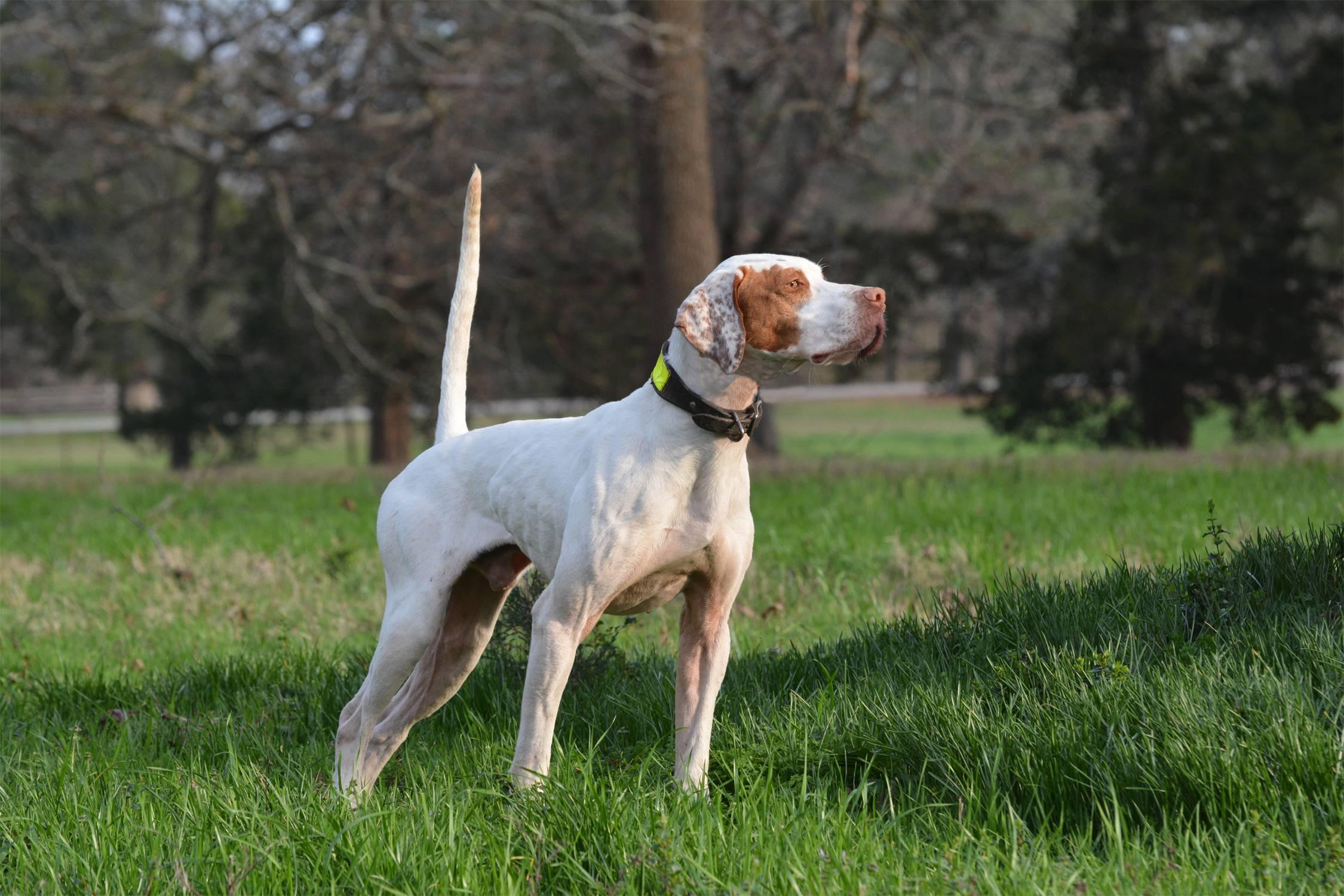 Собака пойнтер - все особенности охотничьей породы: отзывы, характер, история, содержание, фото, видео, питание