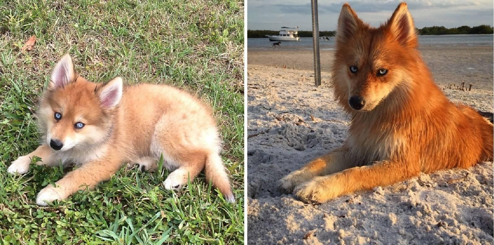 Обзор аборигенных собак сохранившихся до сих пор