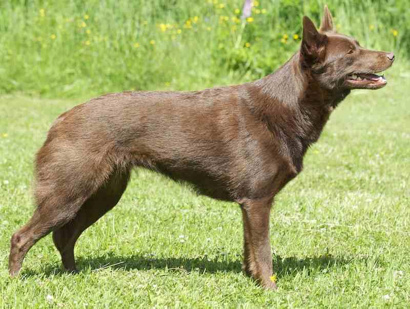 Австралийский келпи: описание породы - моя собака