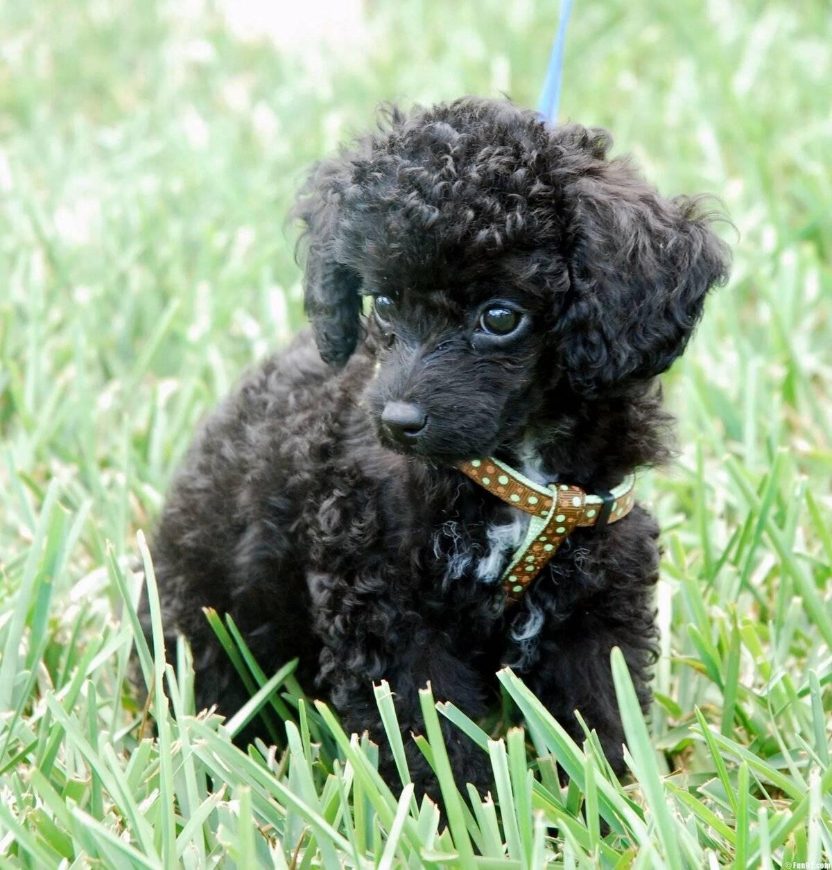 Порода собак той пудель — маленький весельчак с аристократичной внешностью