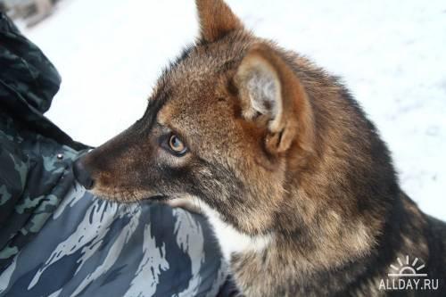 Якутская лайка