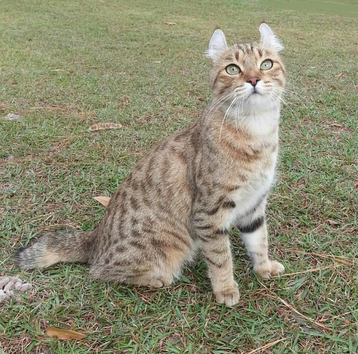 Британская длинношерстная кошка: особенности, описание, фото
