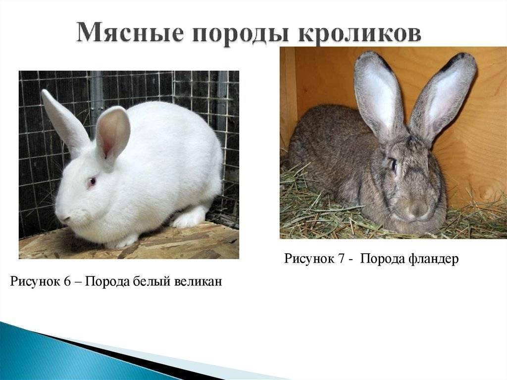 Как определить породу кроликов немецкий строкач: описание внешности