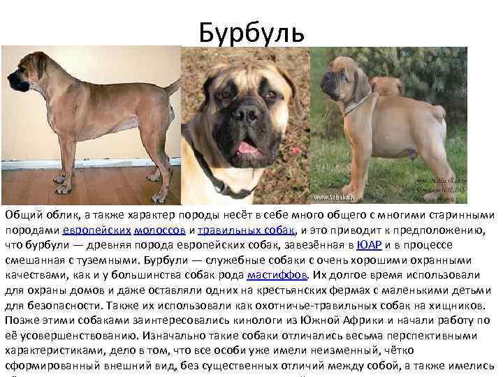 Бурбуль – фото собаки, описание породы, характер, цена щенка