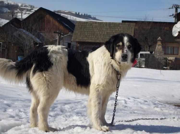 Шарпланинская овчарка (югославская овчарка шарпланинец, македонская овчарка, иллирийская овчарка)
