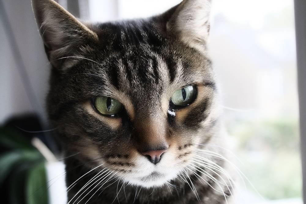 Почему у кота слезятся глаза? что делать если у кота красные глаза и слезятся.