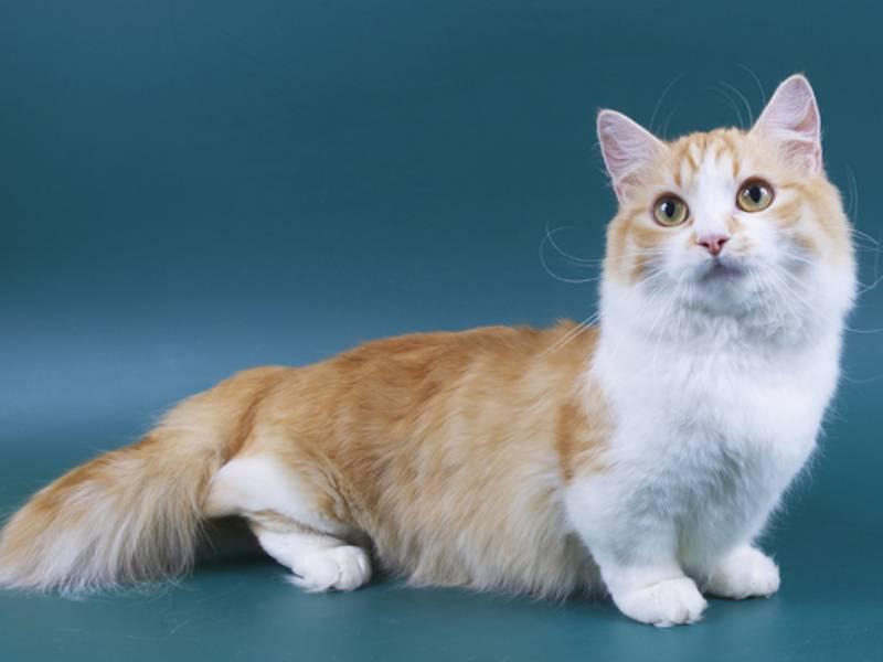 Коты породы манчкин: характер и цена, описание породы и фото коротколапых кошек