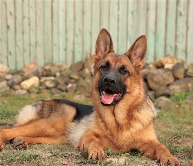 Сторожевые породы собак для частного дома: какую завести для охраны