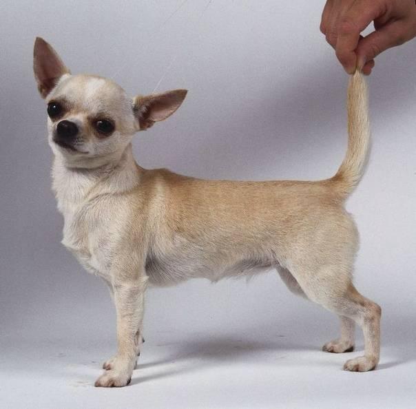 Описание и фото чихуахуа – самой маленькой собаки в мире