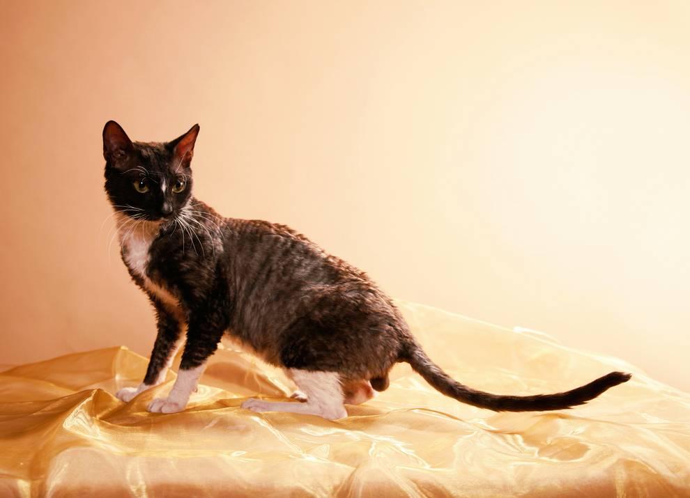 Уральский рекс: описание породы кошек, история, фото, цена