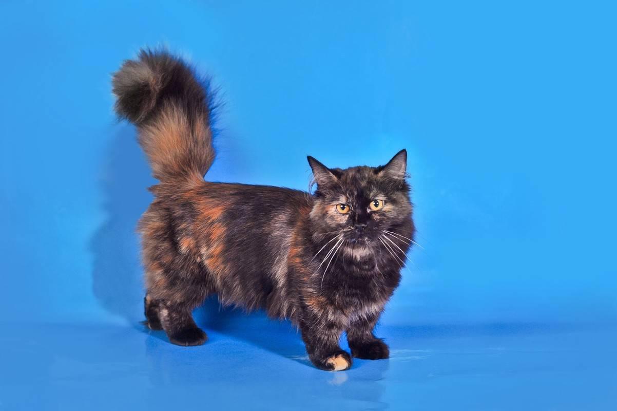 Обзор породы манчкин или кошка-такса: описание, фотографии