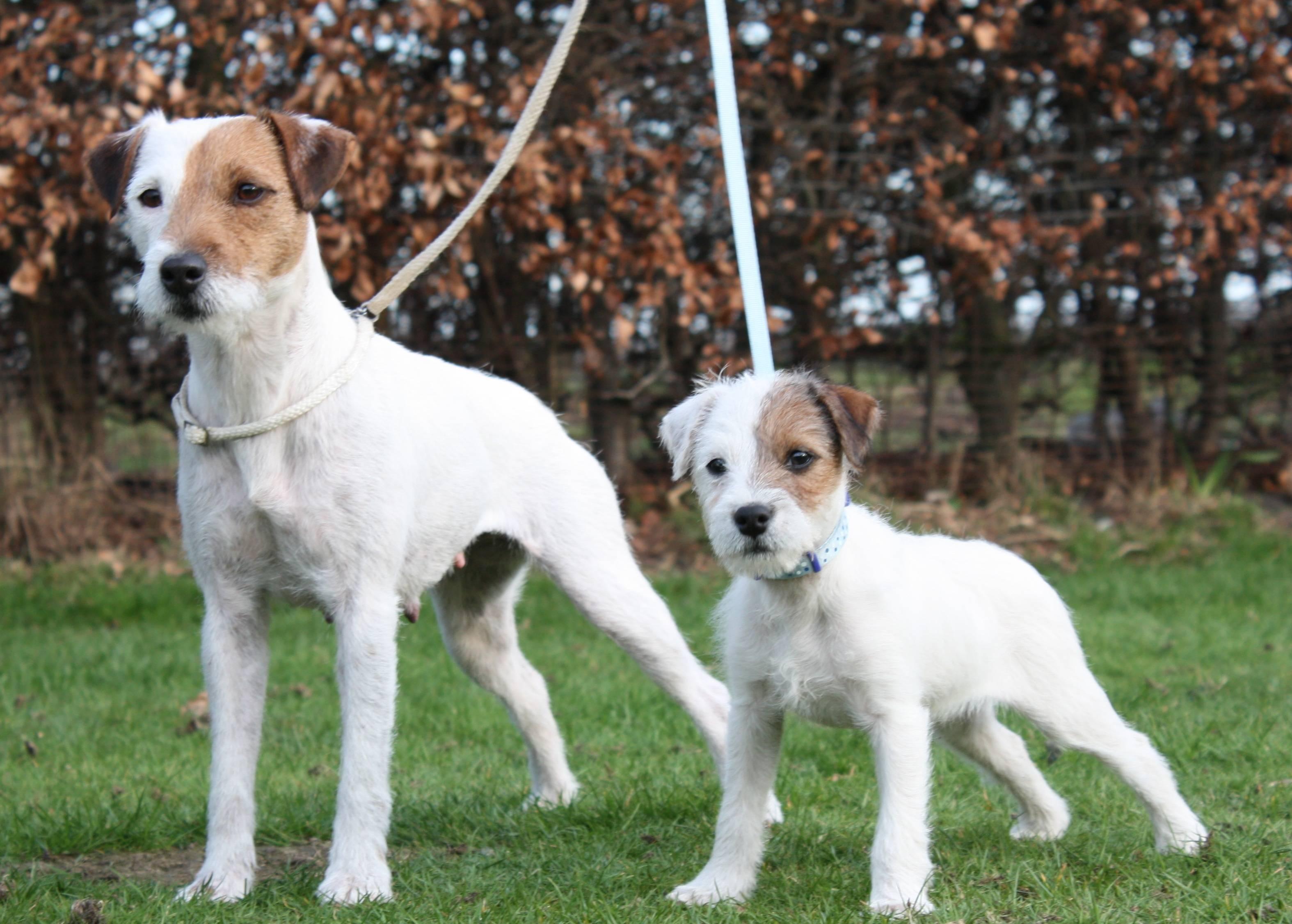 Джек-рассел-парсон-терьер: как выглядит собака на фото и какой у нее характер, а также как правильно воспитывать питомца