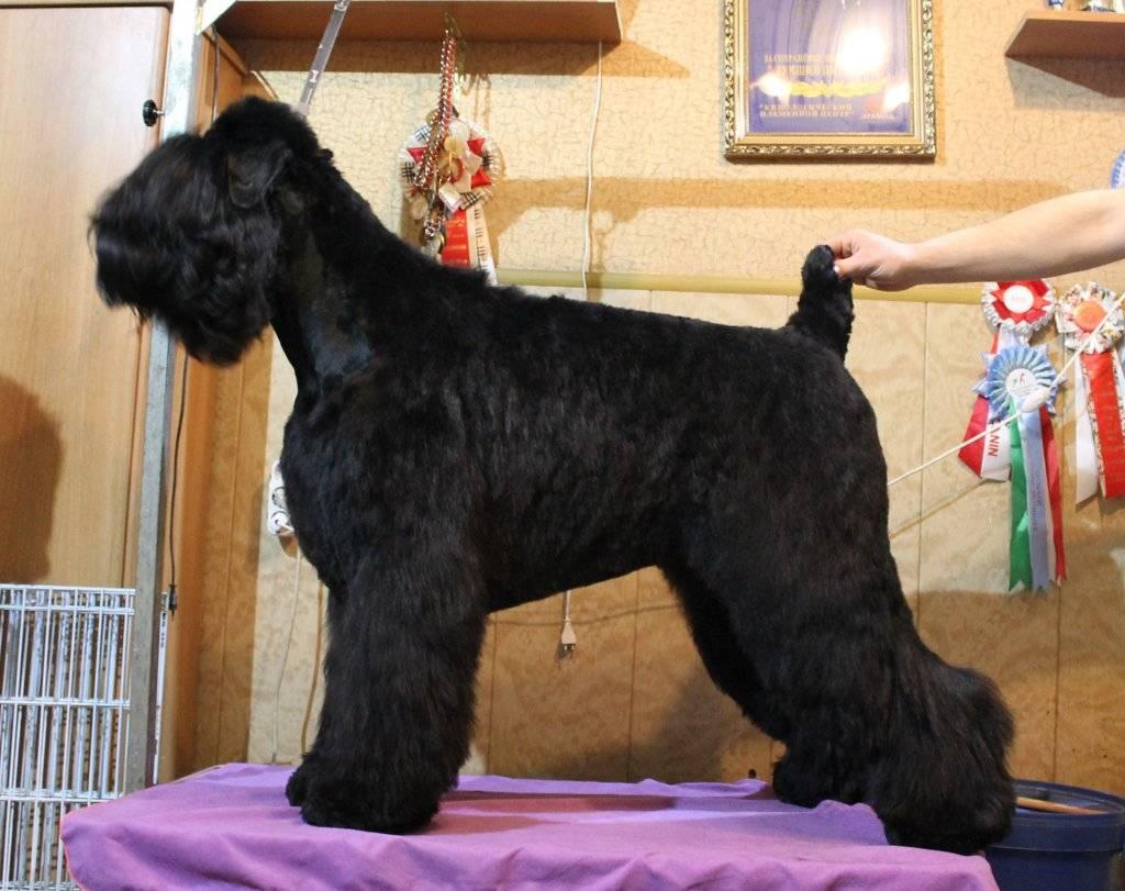 Черный терьер - характер собаки, особенности воспитания и дрессировки, уход за шерстью и отзывы владельцев