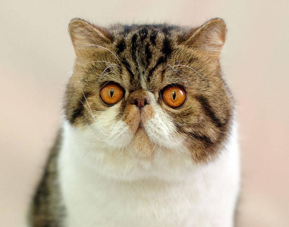 Экзотическая кошка: фото, описание породы, характера, здоровья