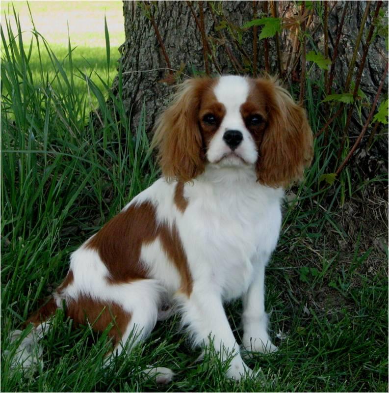 Особенности породы кинг-чарльз-спаниель: фото собак, описание стандарта, правила ухода и отзывы владельцев