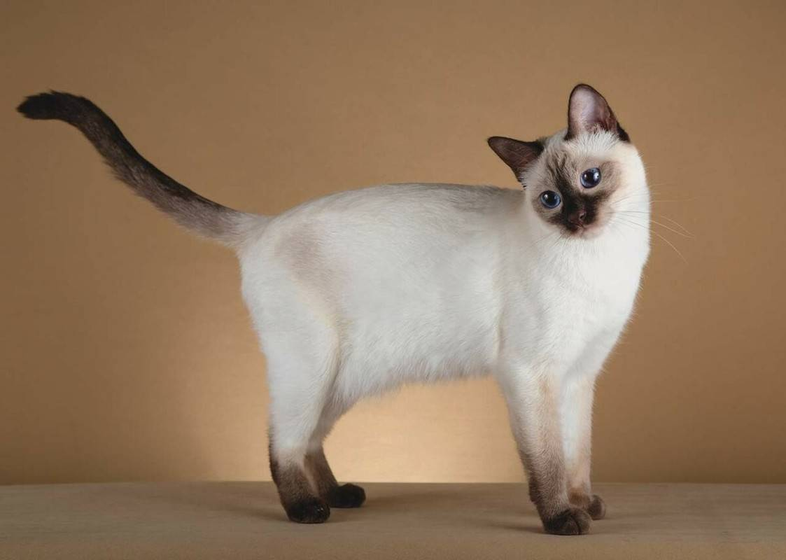 Тайская кошка: описание породы и характера, сколько живут