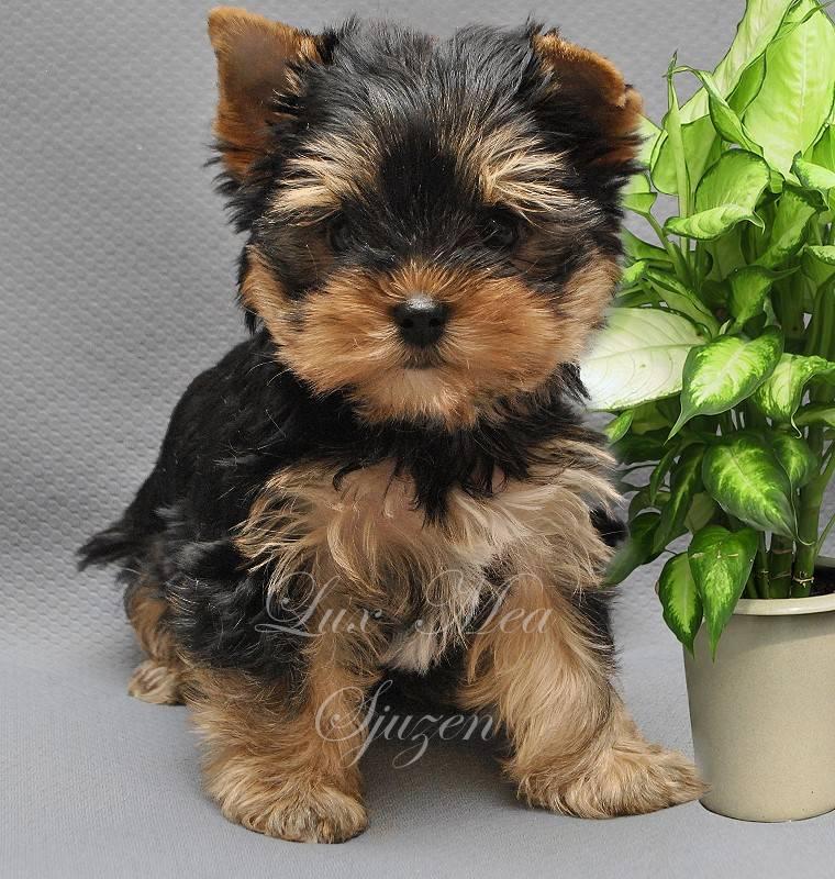 Йоркширский терьер — маленькая живая игрушка или сторожевой пес с отличным слухом?