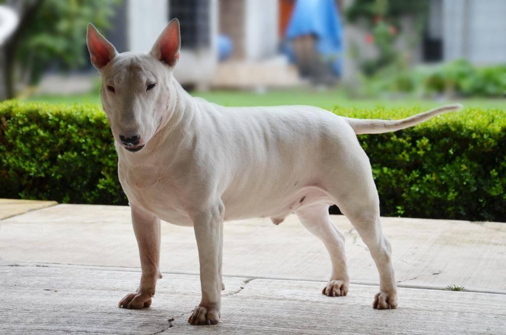Топ-20 – бойцовские породы собак: описание, фото, названия