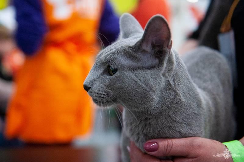 Купить котенка русской голубой кошки - русские голубые кошки питомник graysland