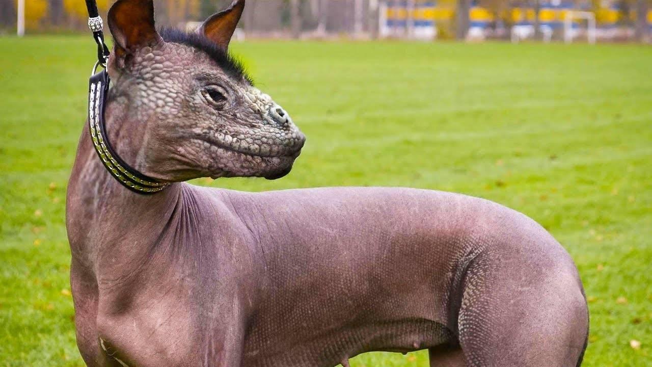 Самые редкие породы собак ? [#топ-30] +фото