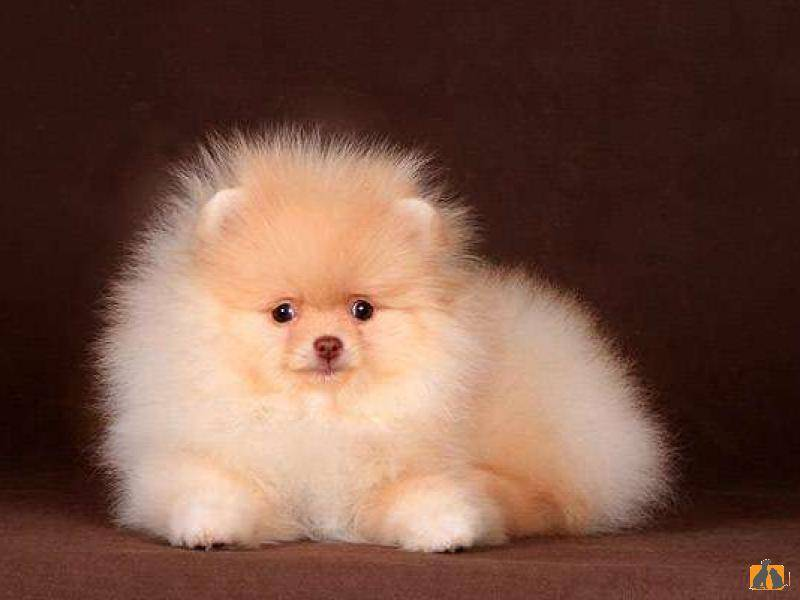 Собаки маленьких пород: названия и описание пород, список, размеры и фотографии
